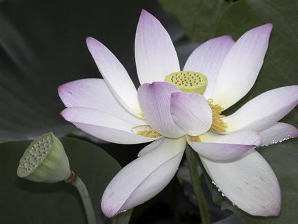 Lotus and Pod