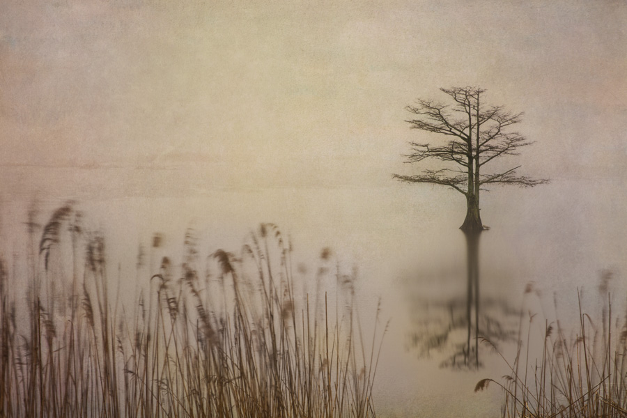 Solitary Cypress, North Carolina 2014