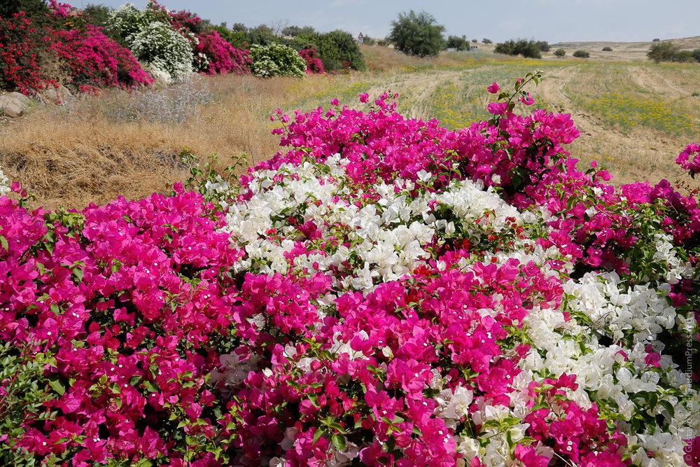 Tierra Santa: Flores silvestres en Galilea. Foto:Gustavo Kralj/Gaudiumpressimages.com