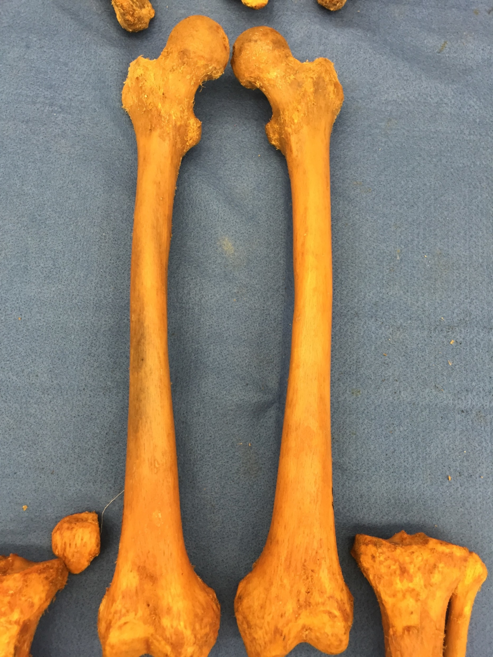 Figure 11: Femurs from #693