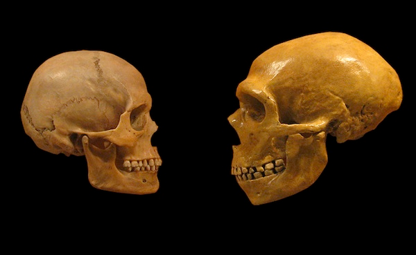 Figure 3: The skull of Homo sapiens versus skull of Homo neanderthalensis