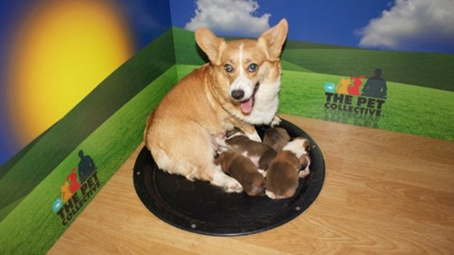 OH YEAH.     thedailywhat :      Corgi Cam of the Day: YouTube's first 24-hour animal stream would be a Corgi Cam of 2-week-old cuteness.But no complaining here.   And if these corgi pups aren't enough for you, explore has launched a new live cam of a half-dozen service puppies in training.   Best Wednesday ever.   [ petcollective ]