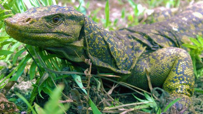 Newly Discovered Giant Lizard is Human-Sized, Has Two Penises       Biologists have just made one of the most stunning animal discoveries of the year–it's a cousin of the komodo dragon uncovered on an island in the Philippines. … The AFP reports that the lizard is brightly colored, is not a carnivore (unlike its relative the komodo dragon), and has been habitually hunted by the local populace for food.     (via  treehugger )