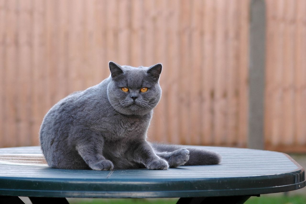 So I've just discovered the British Shorthair cat and they are equal parts cute and horrifying. (via flickr)