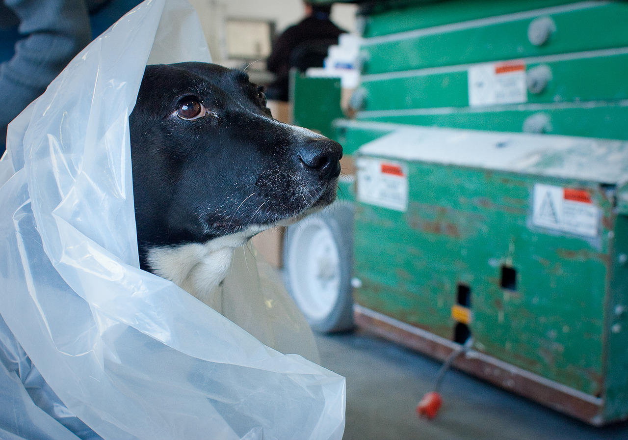 Mesa, our office mascot, taking shelter in a blanket of plastic.