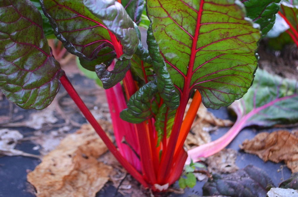Rainbow Chard at Dinner in the Fields with Barcelona Wine Bar and Eddy Farm