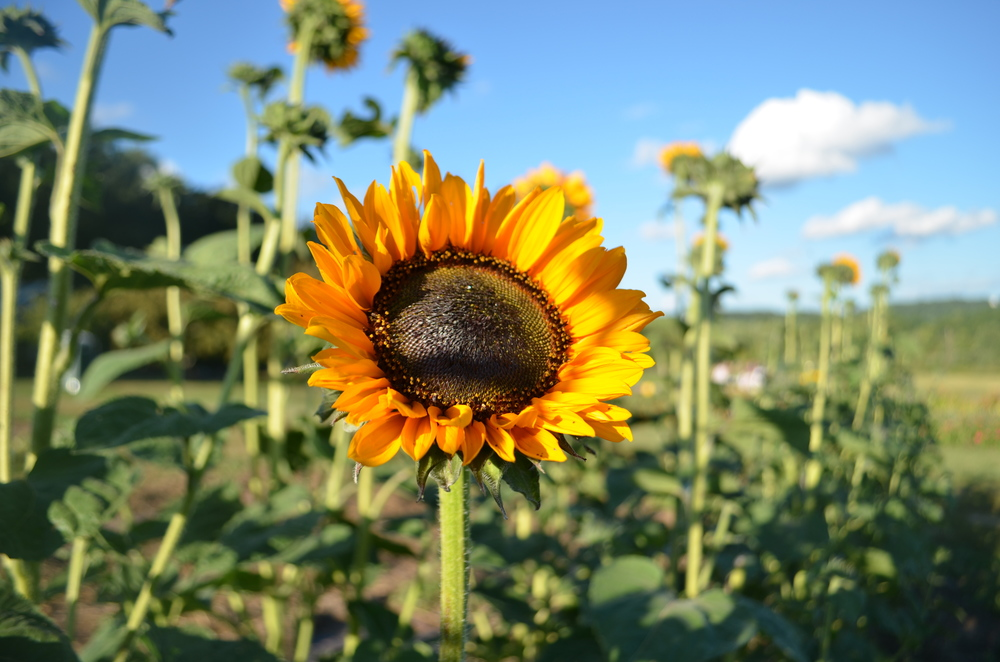 I highly recommend having dinner amongst the Sunflower fields