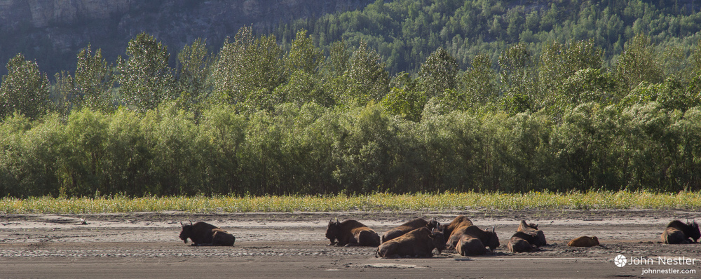 A bison herd right around Nahanni Butte.