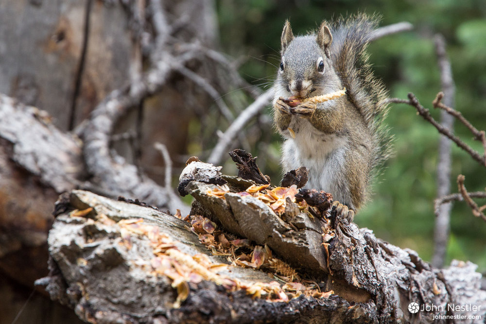 An Abert's squirrel pauses while nibbling away at the cone of a Ponderosa Pine. It slowly removes all the scales from the cone, leaving just the seed. Shot in Segment 8 near Copper Mountain Ski Resort.