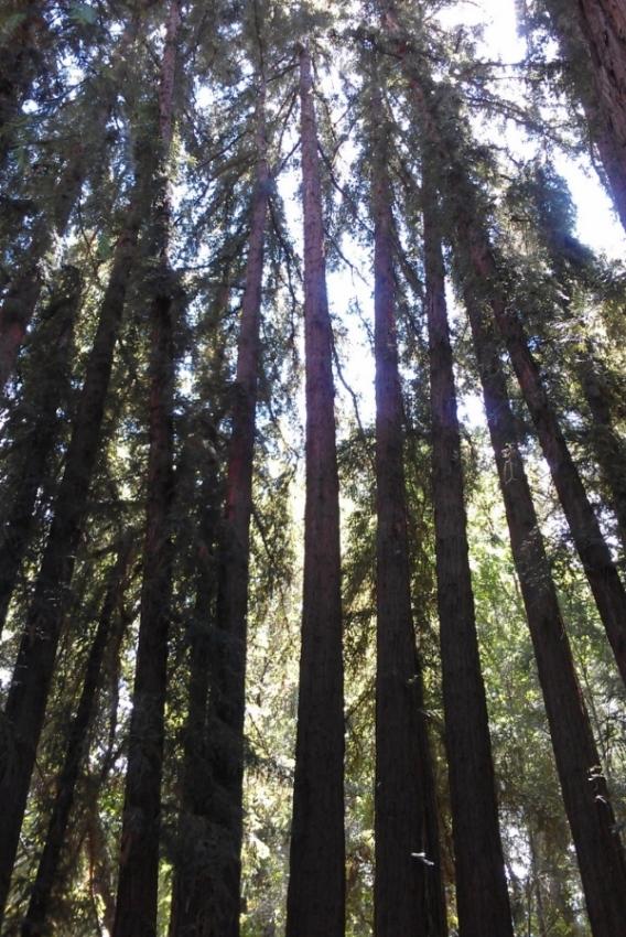 Reverie Redwoods.jpg