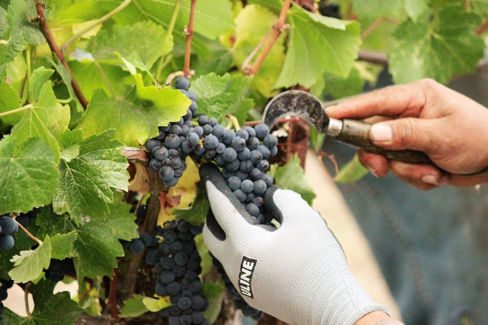 A grape harvesting knife is used to harvest Pinot Noir clusters.
