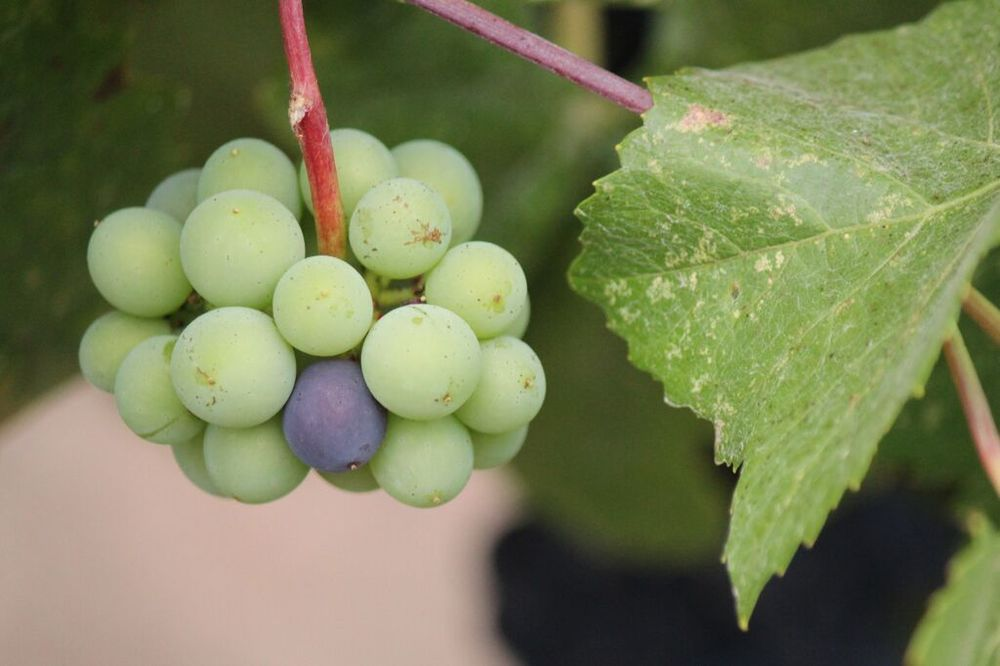 A small cluster that didn't see full veraison is left on the vine