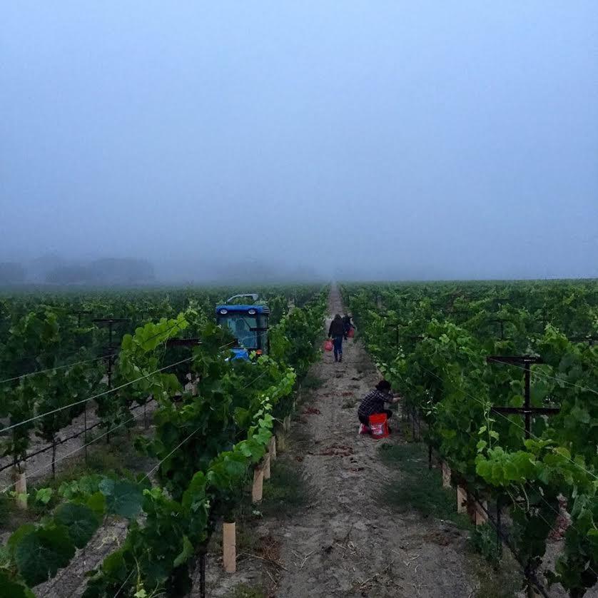 foggy vineyard.jpg