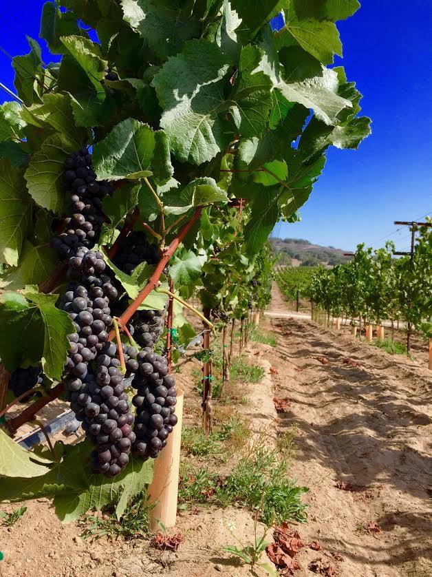 pinot vines.jpg