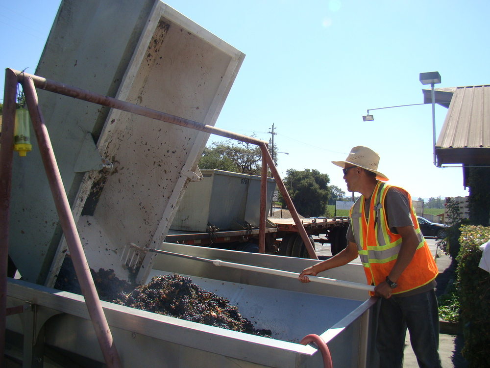 Grapes coming in for crushing at Rack & Riddle's Alexander Valley facility.JPG