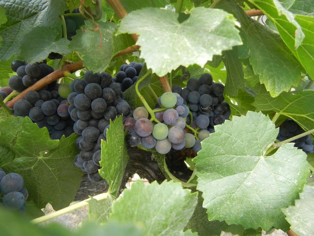 Grapes2_veraison.jpg