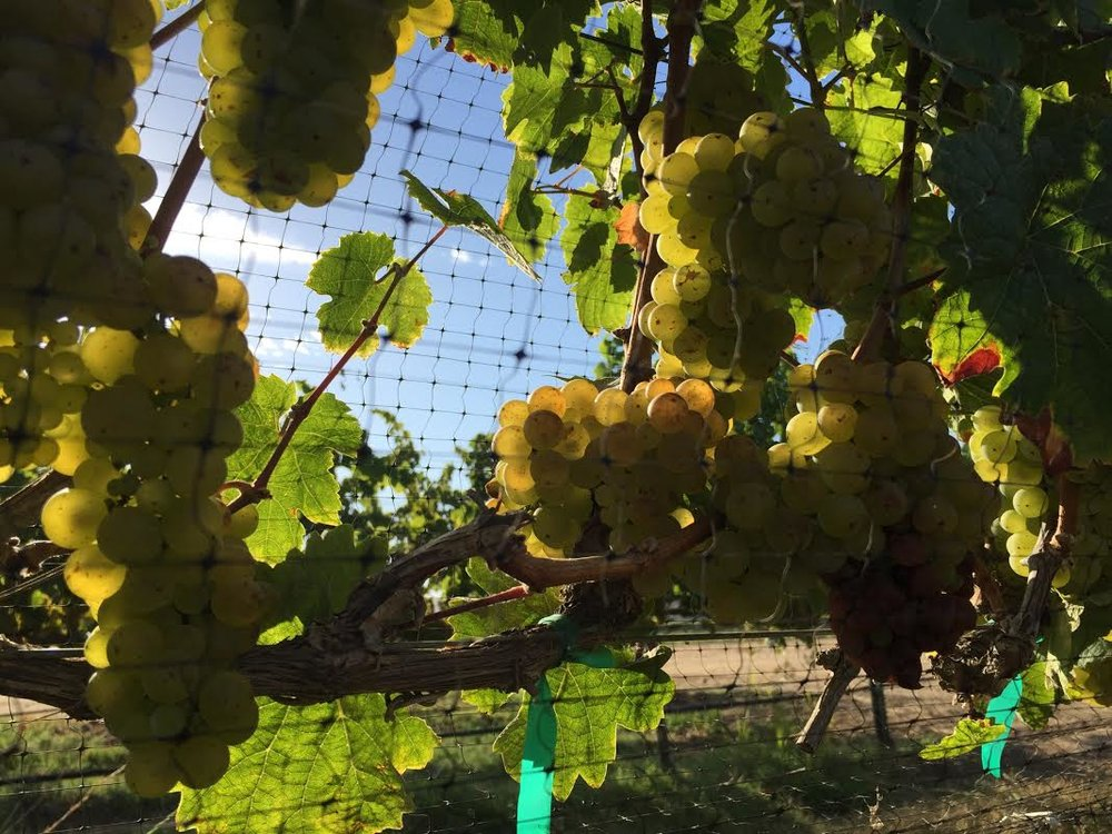 grapes on vine.jpg