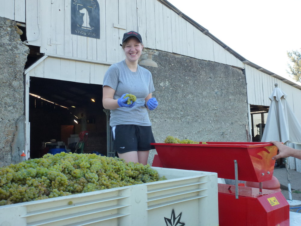 Marielle processing grapes.JPG