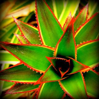 pineapple+plant.jpg