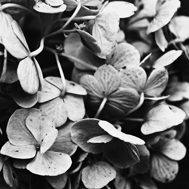 hydrangea+macro.jpg