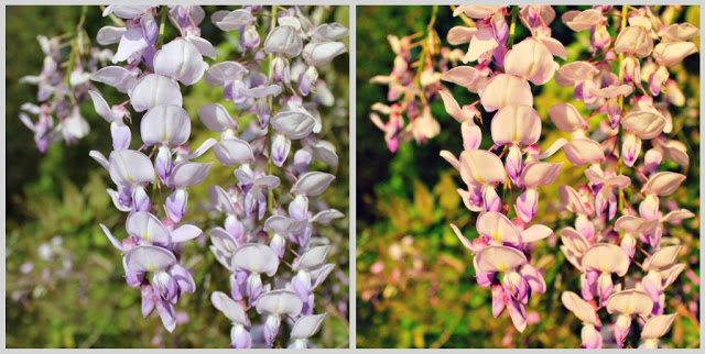 wisteria+before&after.jpg