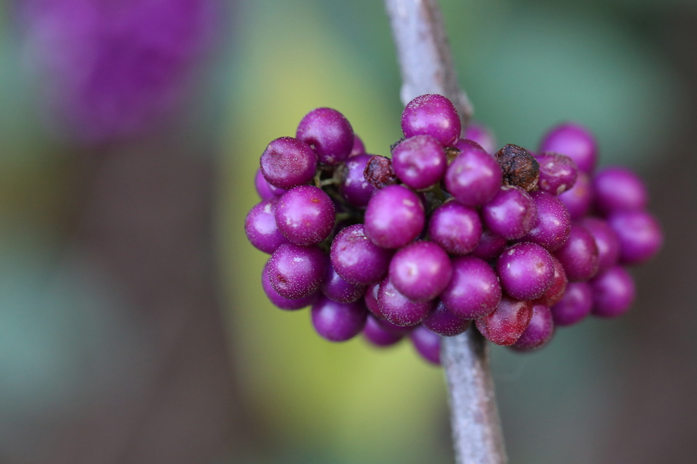 beautyberry macro (Uninvented Colors Photography)