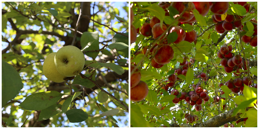 Green and red apples in orchard (Uninvented Colors Photography)