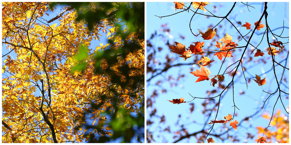 colorful fall leaves (Uninvented Colors Photography)