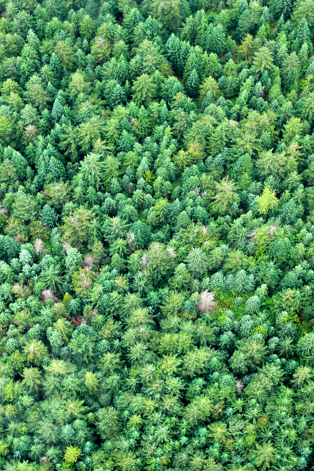 evergreen forest from above (green tree photo)