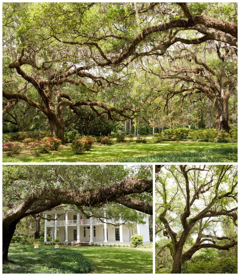 Live Oak trees in Eden Gardens State Park