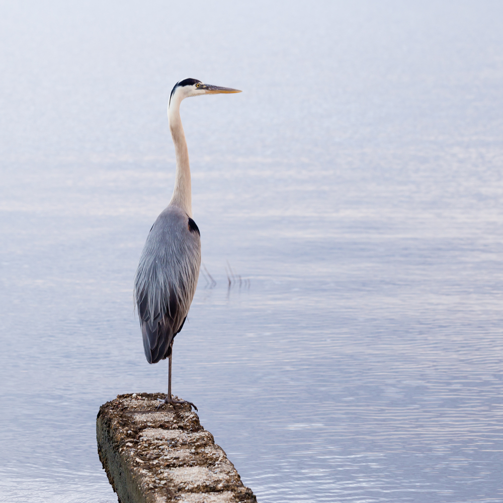 great blue heron in Ocean Springs, Mississippi