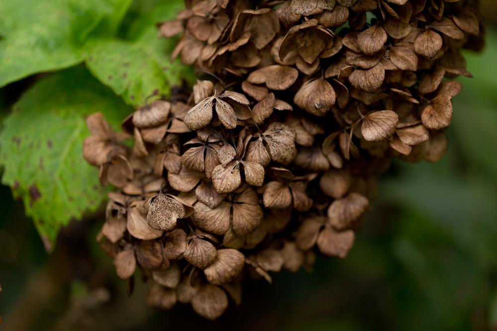dead hydrangea flowers (brown, green)