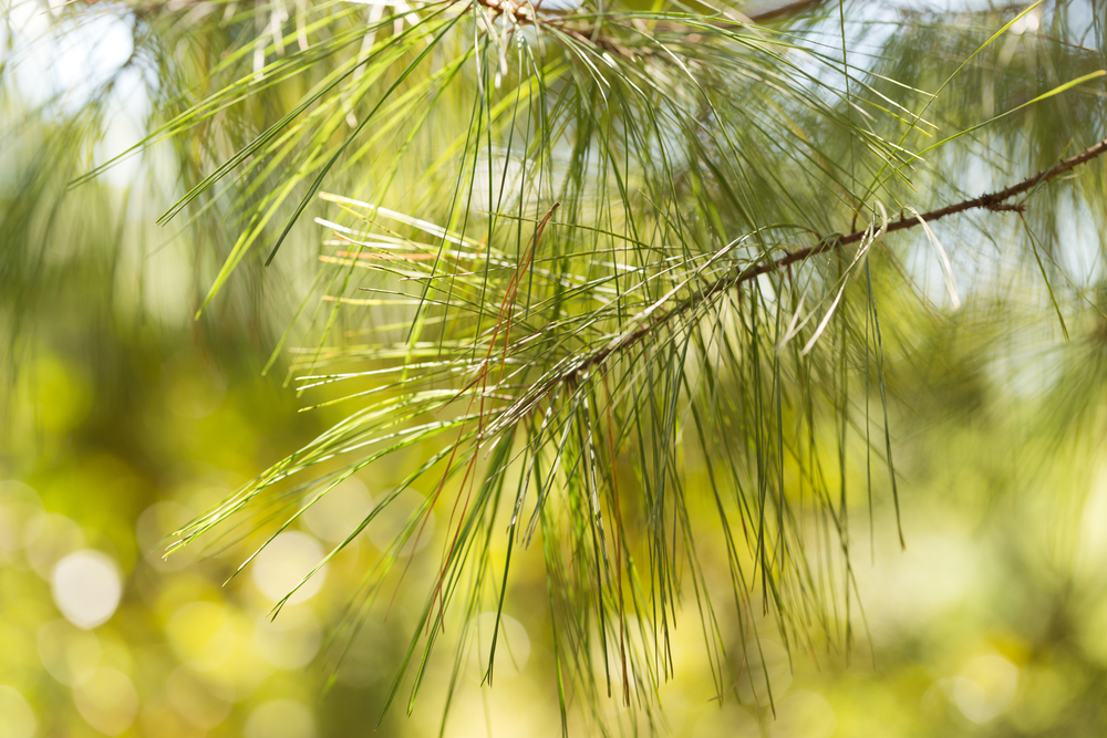 evergreen tree branch, pine needles