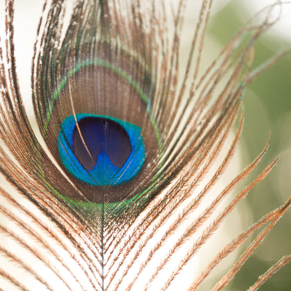 peacock feather art photo