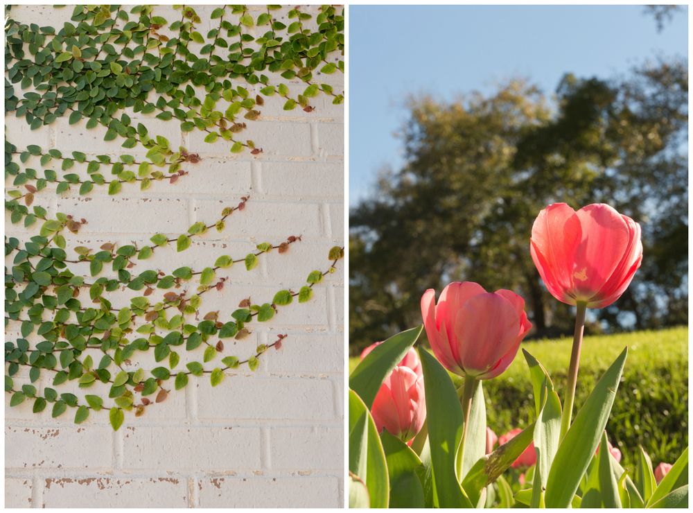 ivy leaves on white wall, pink tulips on sunny day