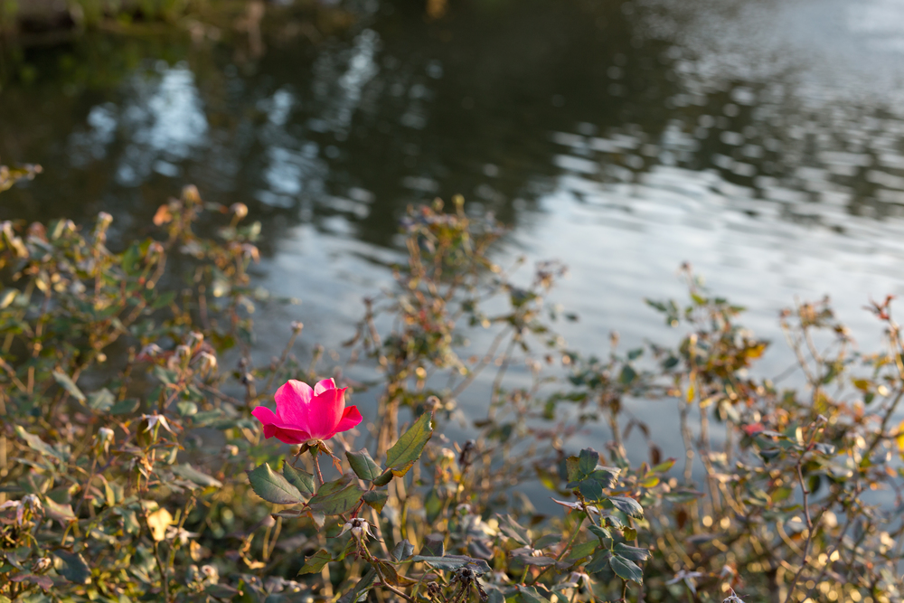 pink flower bloom at pond edge