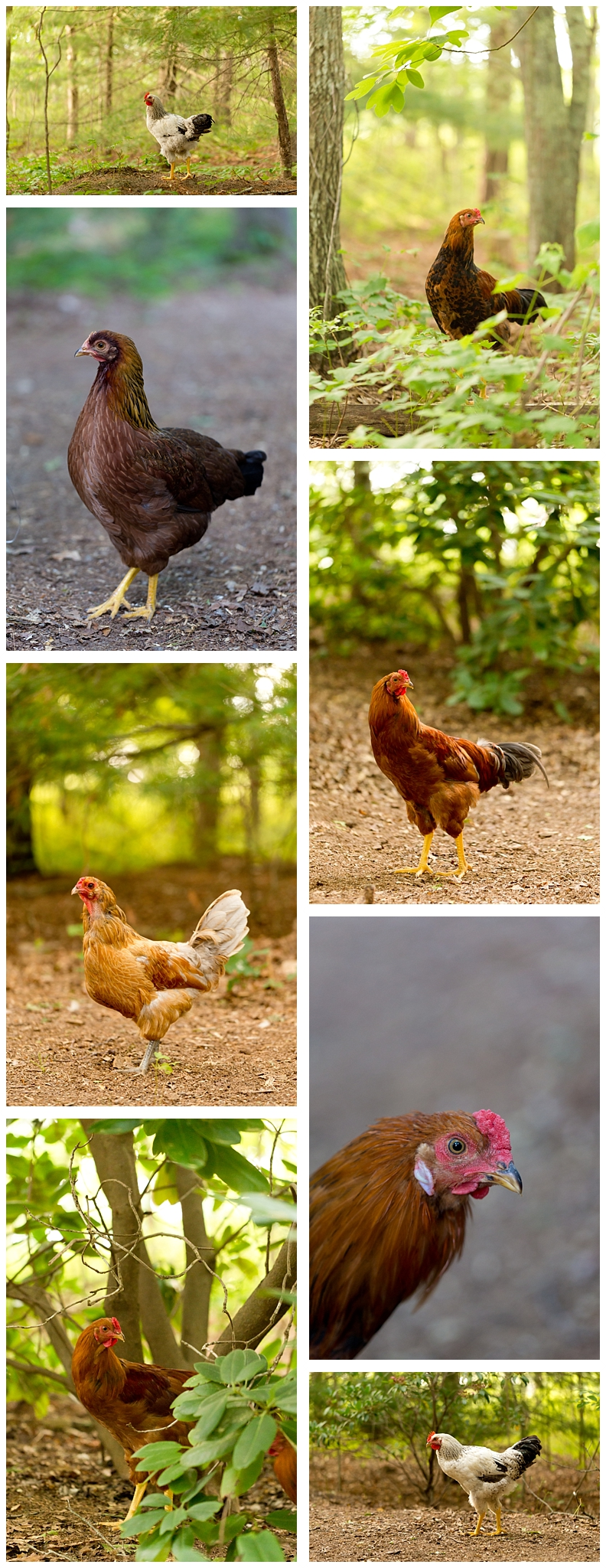 chickens in the woods