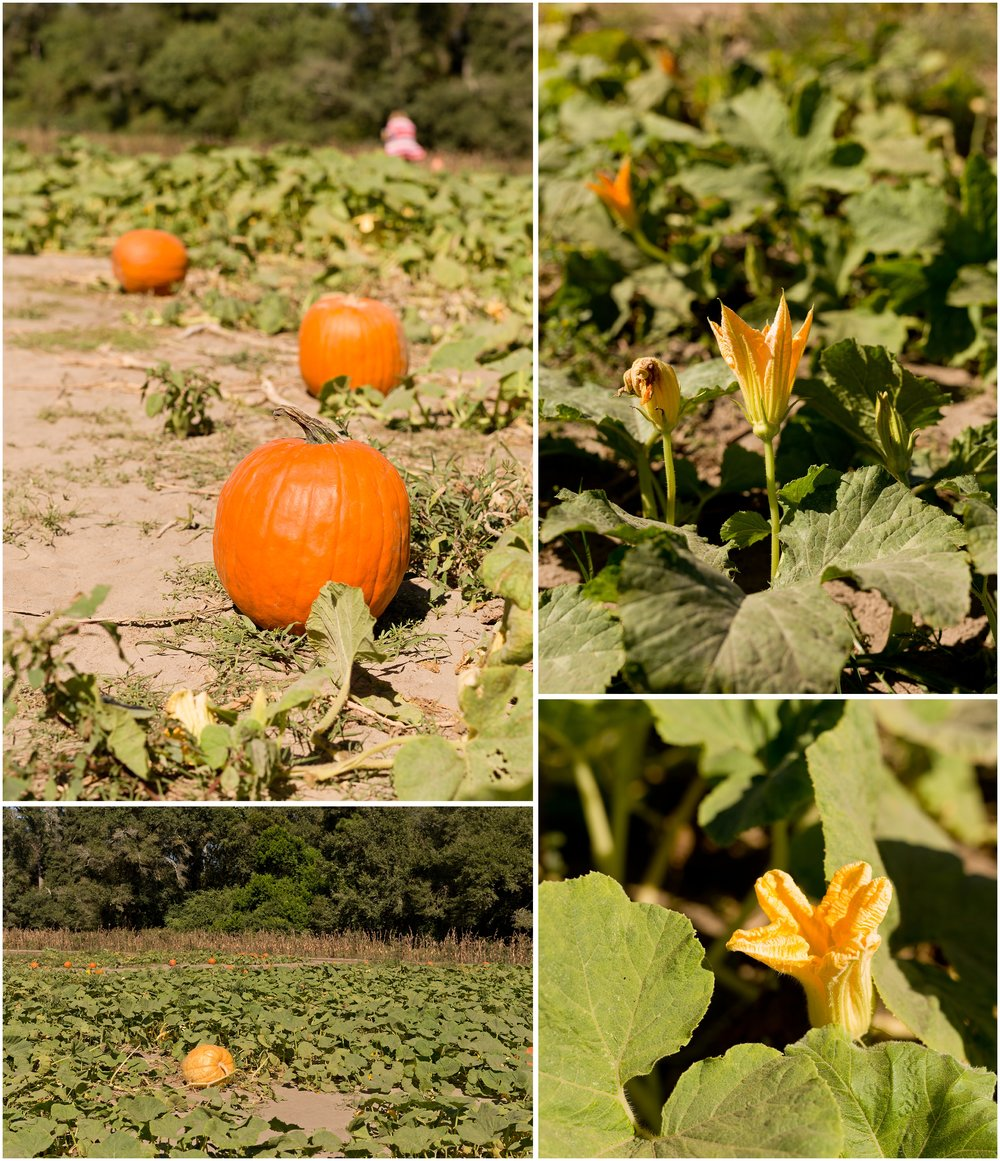 pumpkins growing in patch with blooms