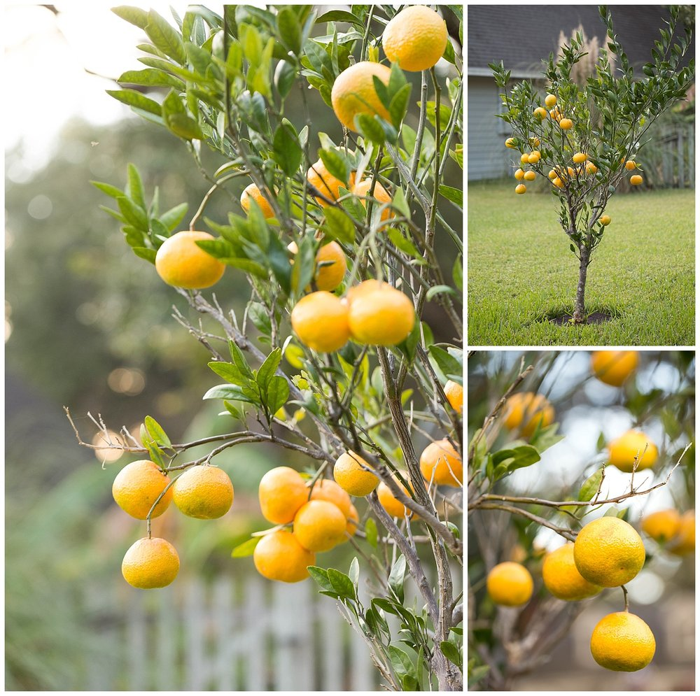 orange tree with oranges in front yard, Ocean Springs Mississippi