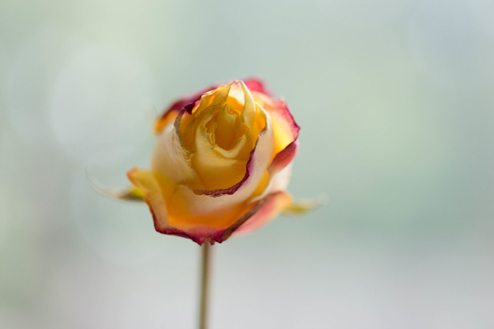 dreamy photo of single yellow and pink rose (Uninvented Colors Photography)