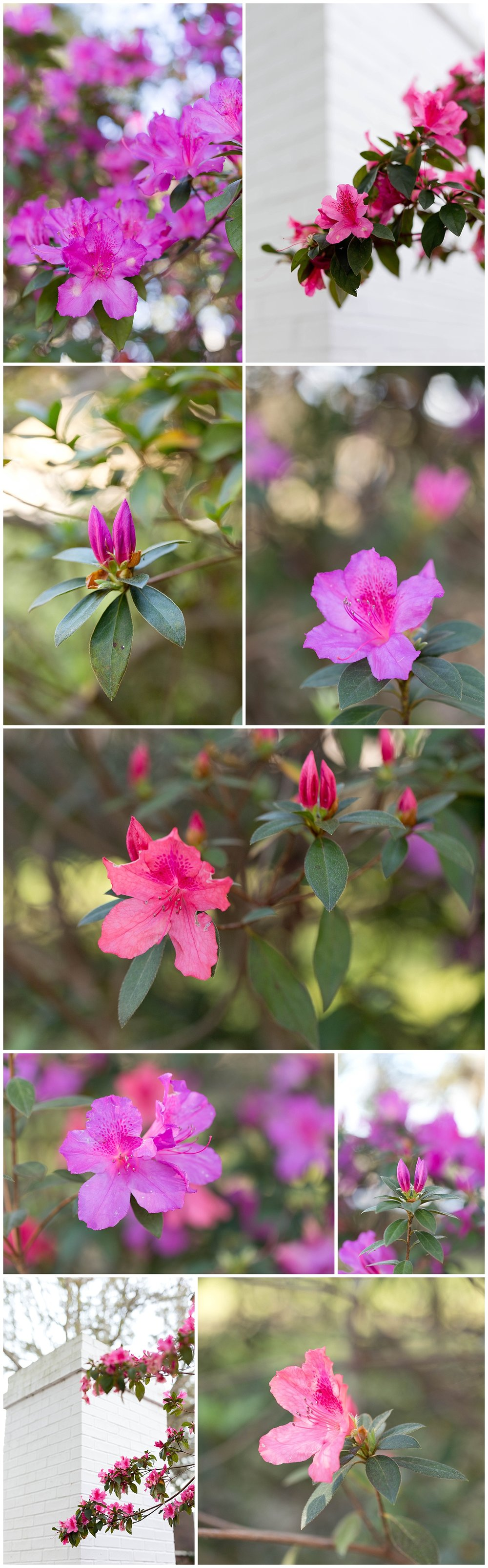 bright pink azaleas in Ocean Springs, Mississippi