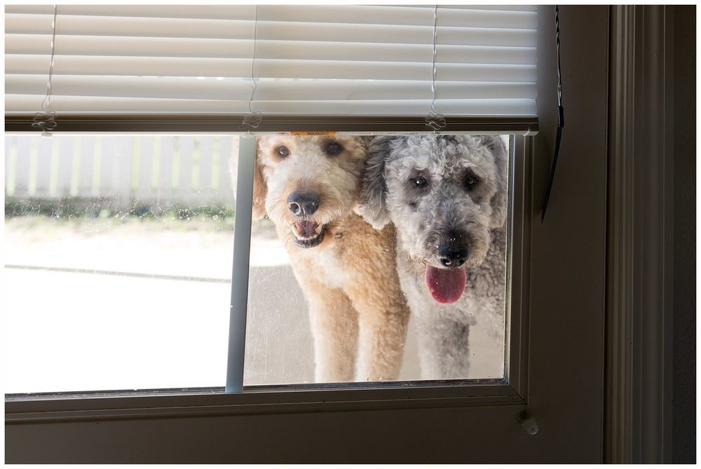 two golden doodle dogs looking in through window