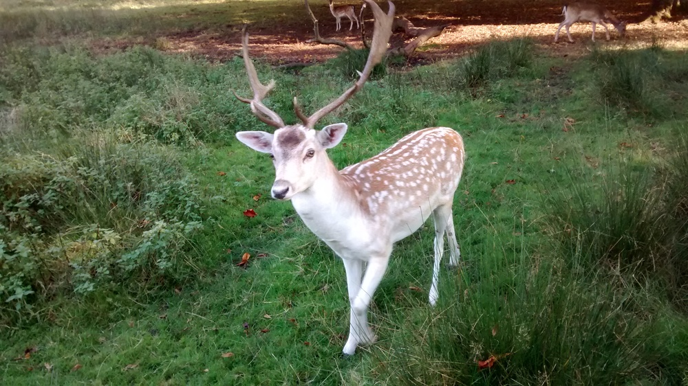 Deer in Dunham Park