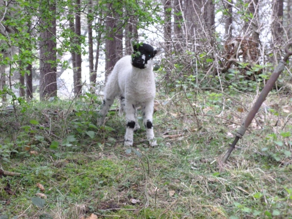 Lamb is Spring Time