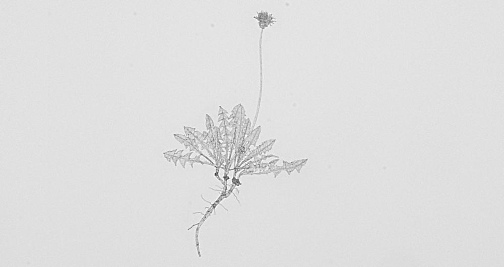 Common Dandelionby Michael Landy