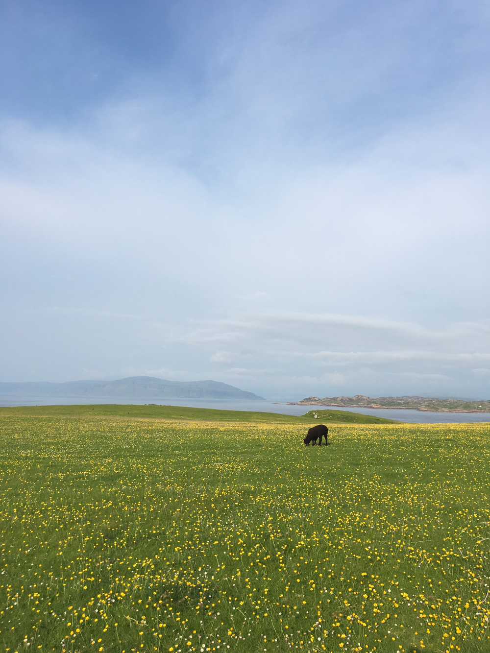 Carpets of buttercups and Bird's-foot Trefoil on Iona, looking towards Mull.
