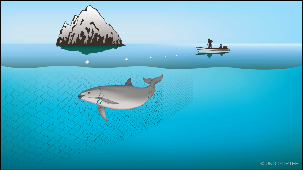 Illustration of a Vaquita becoming entangled in a gillnet. © Uko Gorter