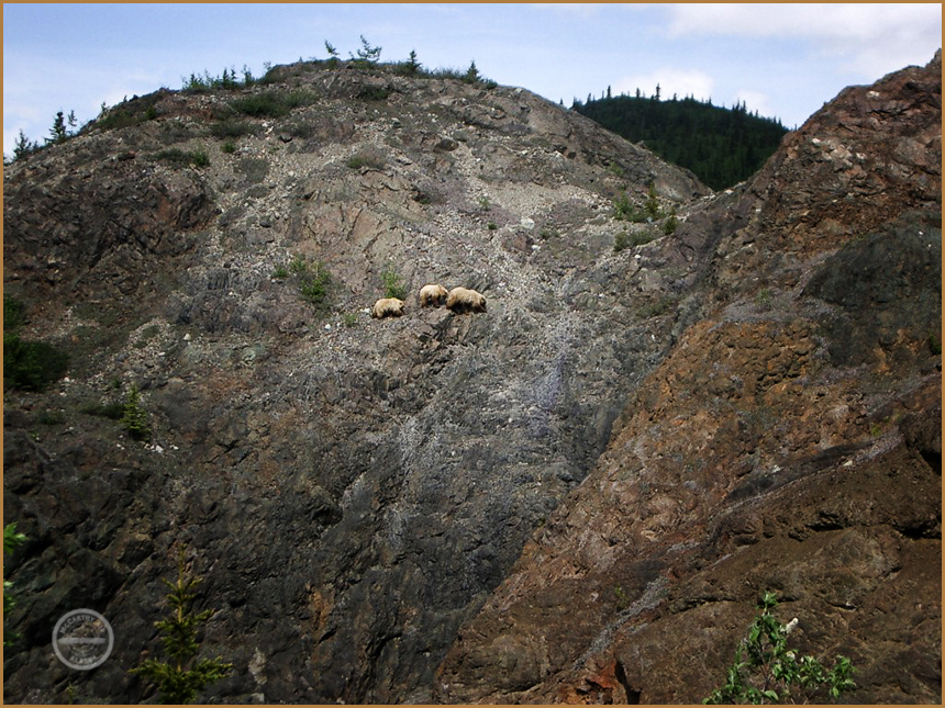 Grizzly bear family traverse rock slopes near Doubtful Creek.