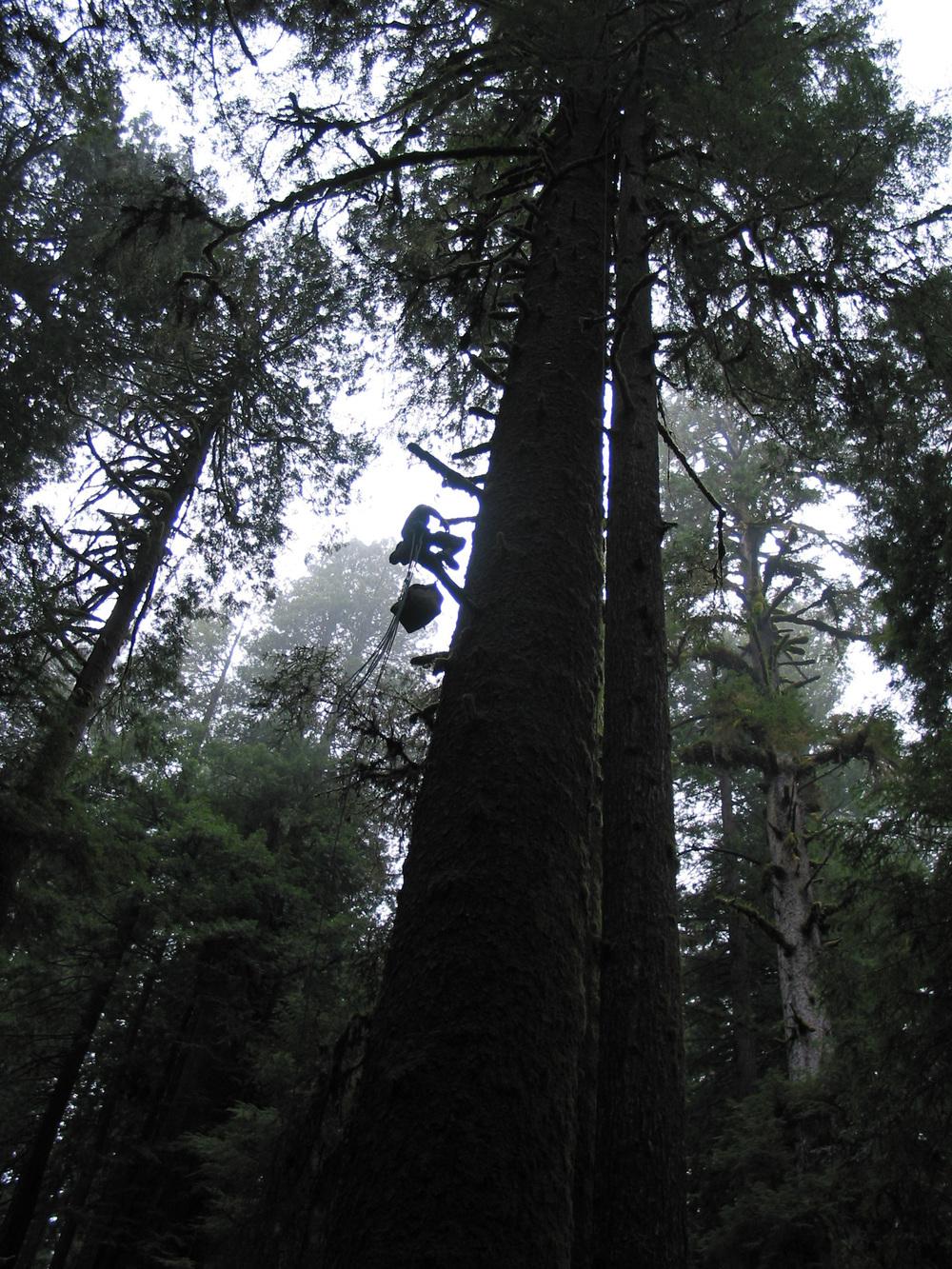 Ascending Sitka spruce – California