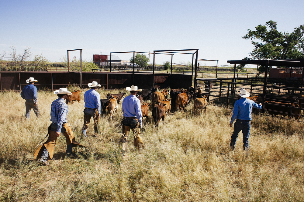 Quentin, Hawkins, Brody, Casey and Mario moves a set of calves from one pin to another. They've been out since 7 in the morning, and they're getting ready to brand, castrate and vaccinate.